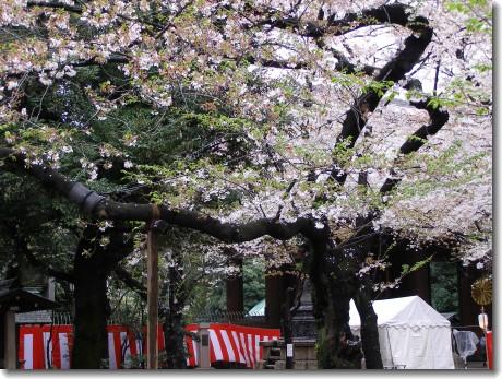 yasukuni sakura